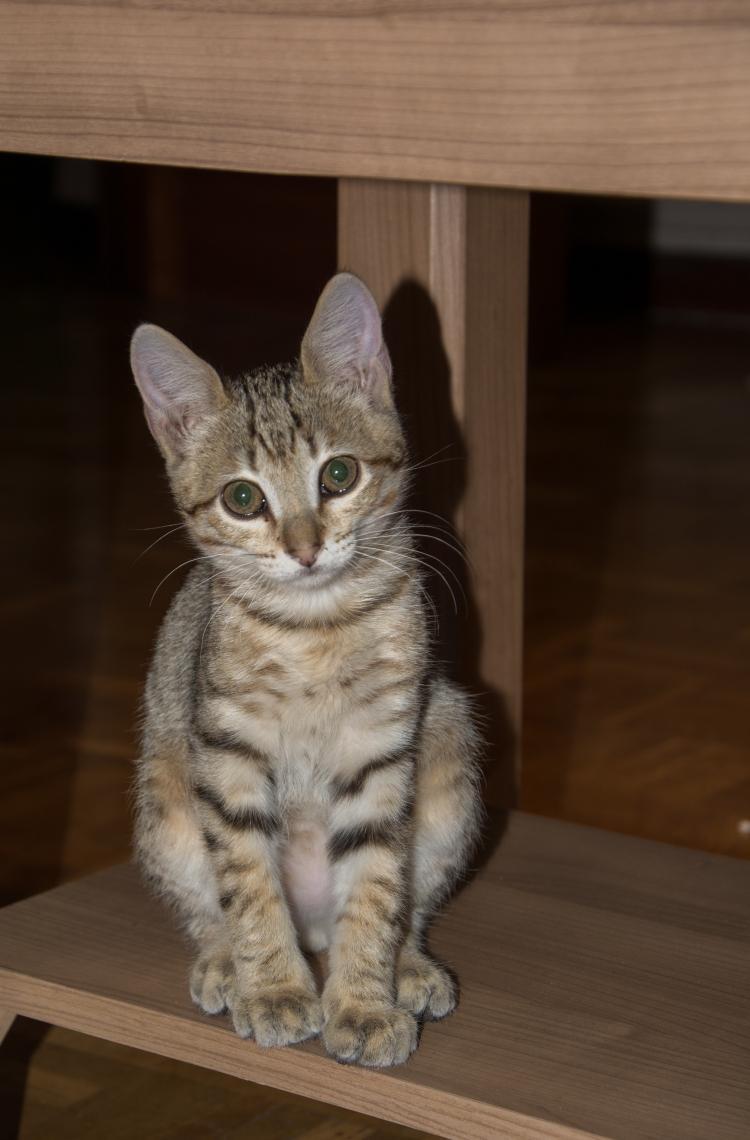 Regalo gatito inmunizado con sus accesorios