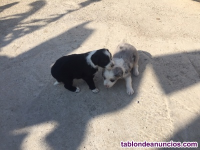 Se venden 2 hembras de border collie