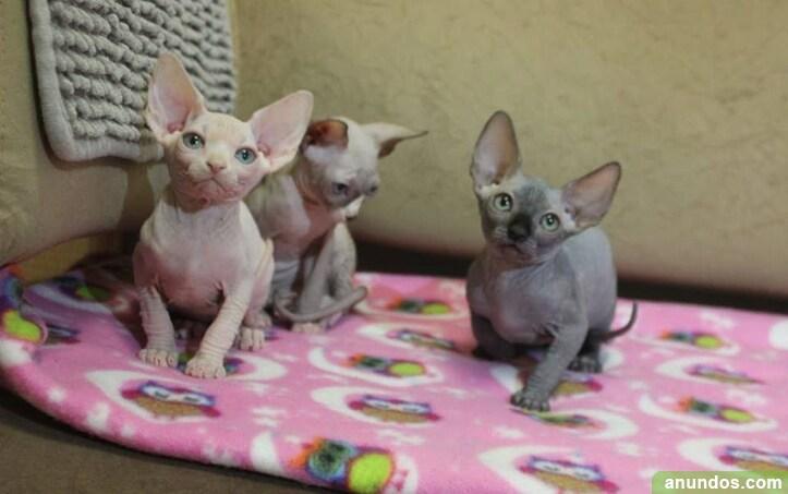 Precioso macho y hembra sphynx gatitos - A Coruña Ciudad
