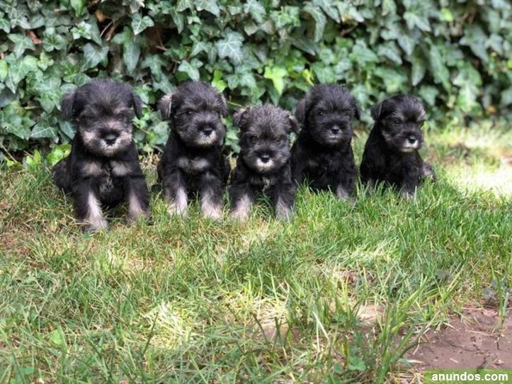 Cachorros schnauzer miniatura - Almendral