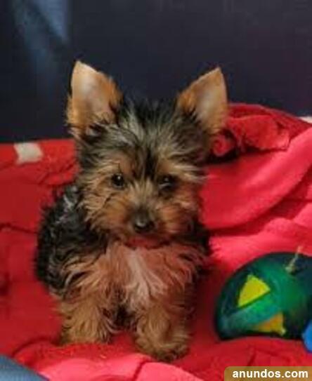 Cachorros yorkshire terrier mini toy - Cadalso de los