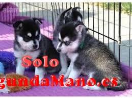 Regalo ojos azules cachorros siberiano husky para adopcion