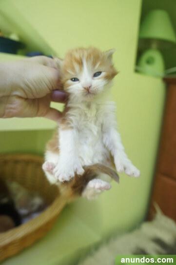 Gatitos de maine coon para adopción - Cañete de las Torres