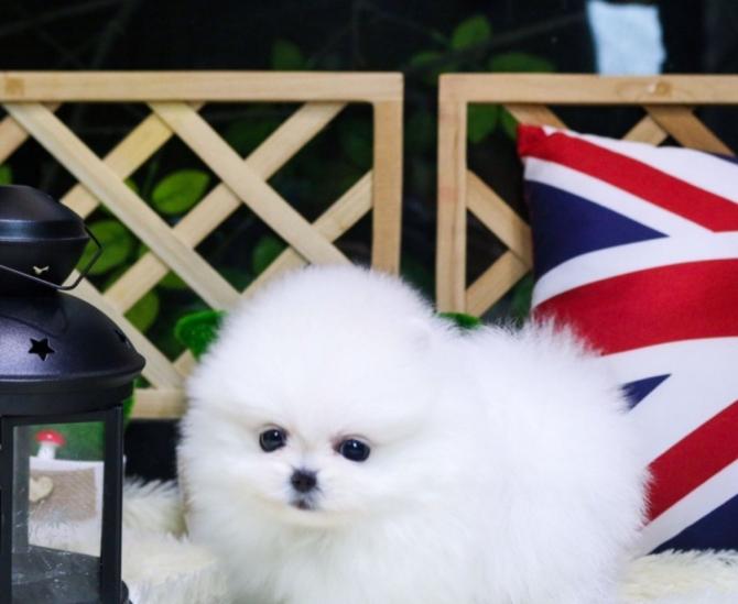 Adorables perritos lindos de la taza de té Lulu para la
