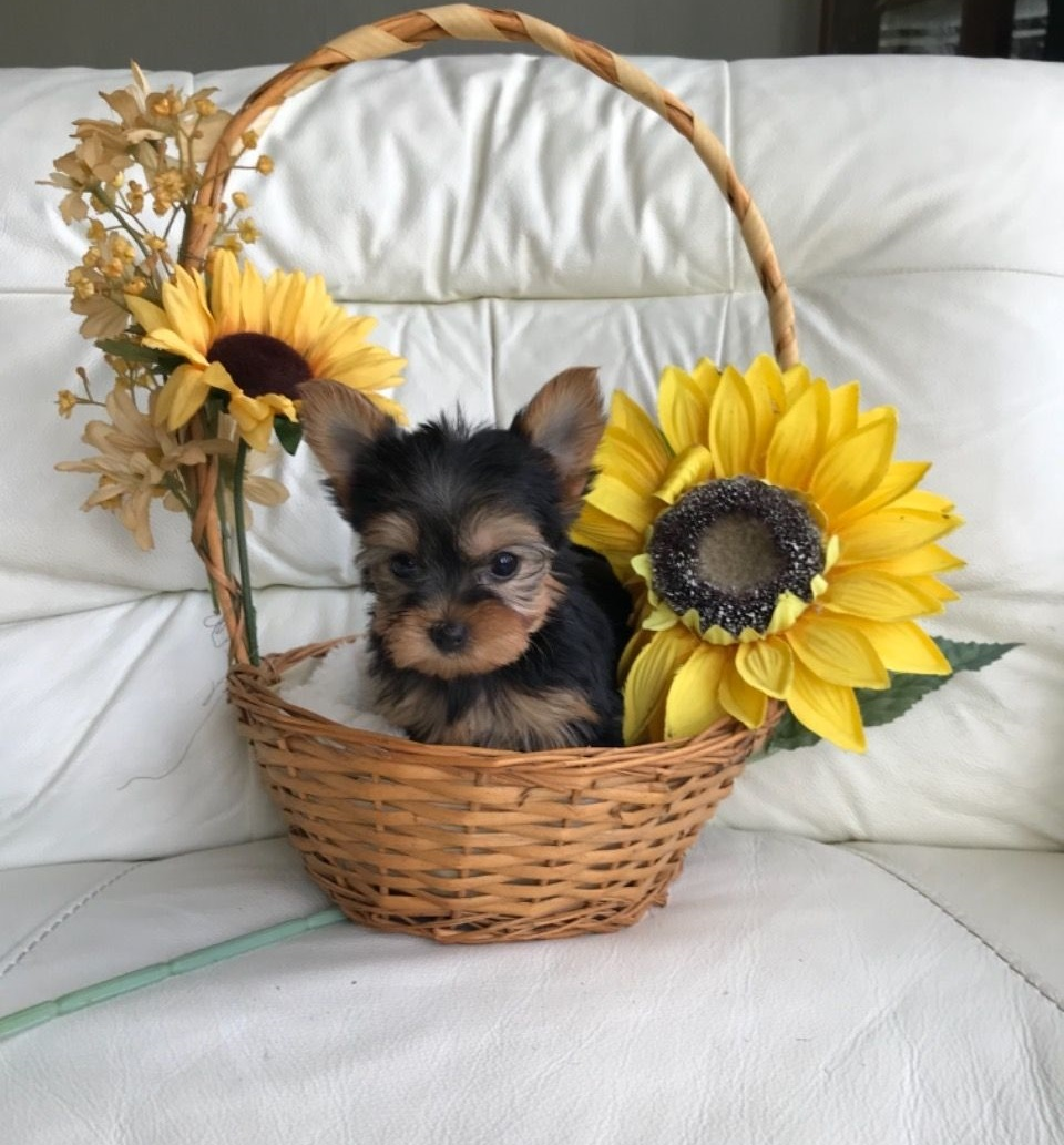 Cachorro Yorkie absolutamente saludable
