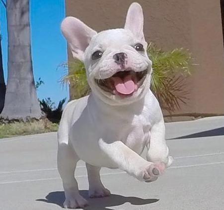 Cachorros Bulldog Frances encantadores y adorables