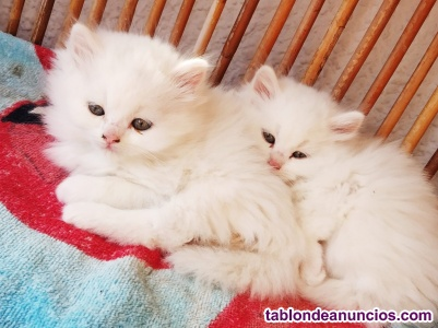 Preciosos gatitos persas