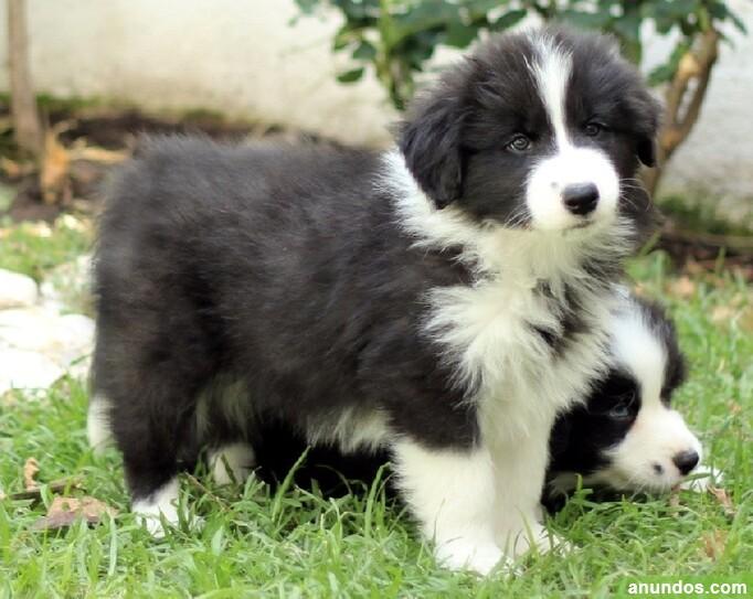 Cachorros de border collie pedigree - Ames