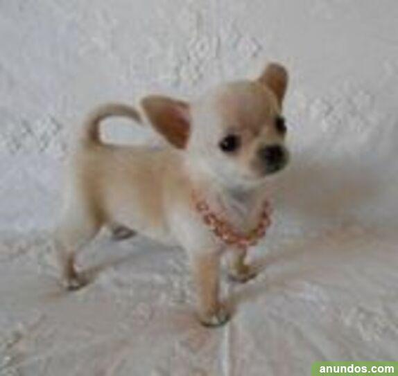 Cachorros de chihuahua excelente preciosos - Alegría de