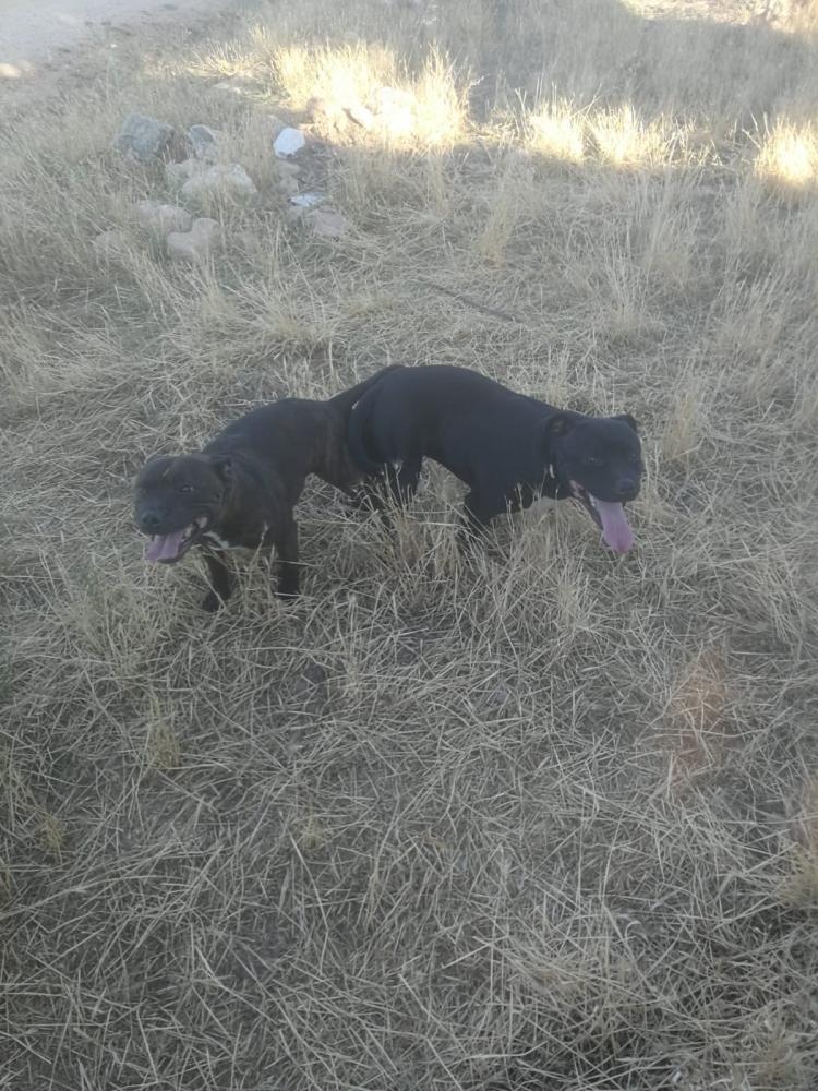 Stanffordshire bull terrier