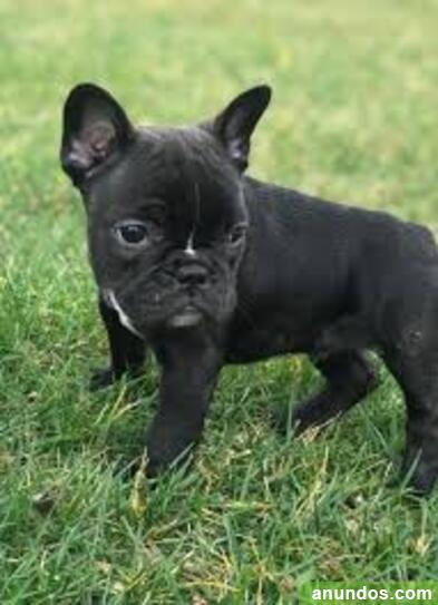 Encantadores cachorros de bulldog francés - Navacerrada