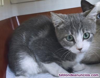 Gatita azul atigrada y blanca en adopción