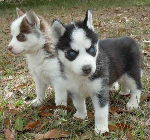 Regalo Cachorros de Husky Siberiano de Pura Raza