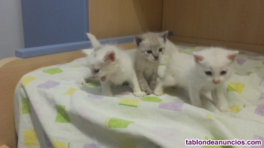 Se regalan gatitos de un mes