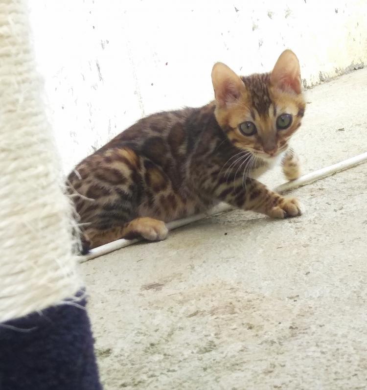 Vendo o cambio gatito bengalíe