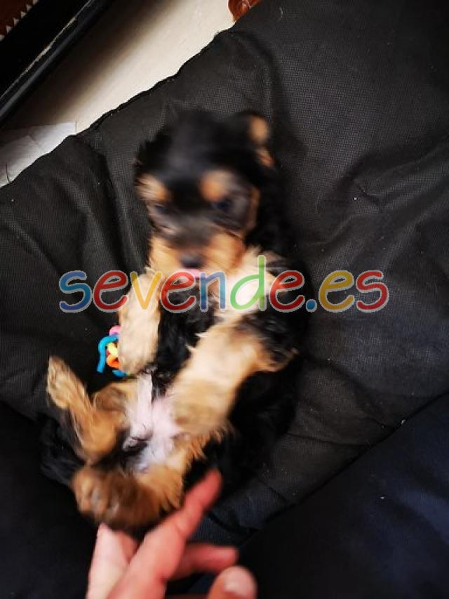se vende cachorro yorkshireterrier