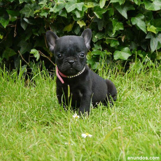 Cachorros de bulldog francés en busca de un hogar de