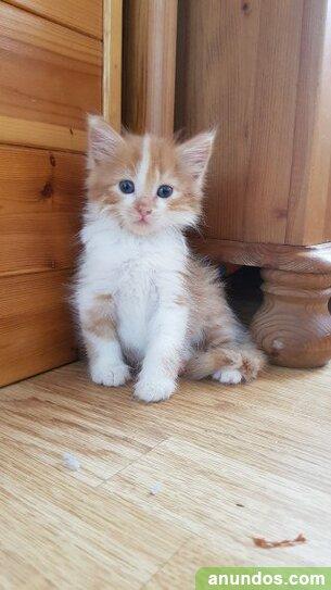 Hermosa camada de gatitos maine coon - Humilladero