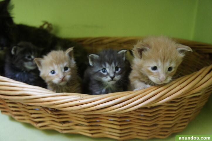 Preciosos gatitos maine coon de registro - Colmenar del