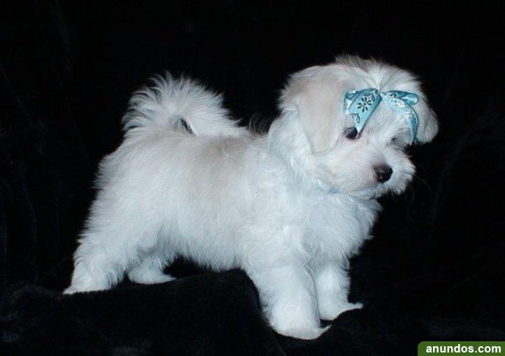 Regalo cachorros bichon maltes en adopcionbq - Portillo