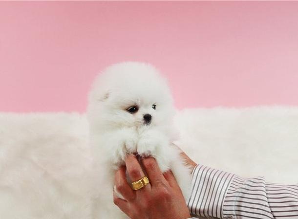 Regalo de cachorros de pomerania dulce # $ #