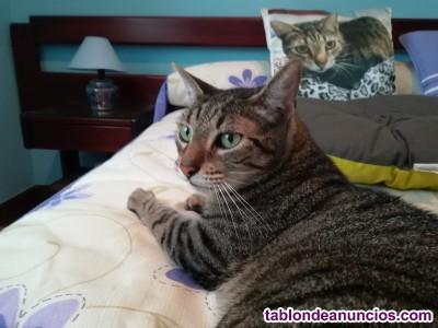 Regalo gato atigrado. Kiwi
