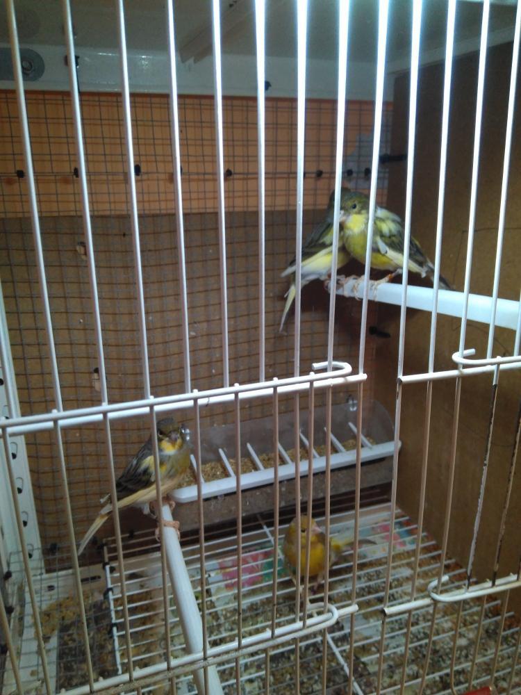 vendo canarios