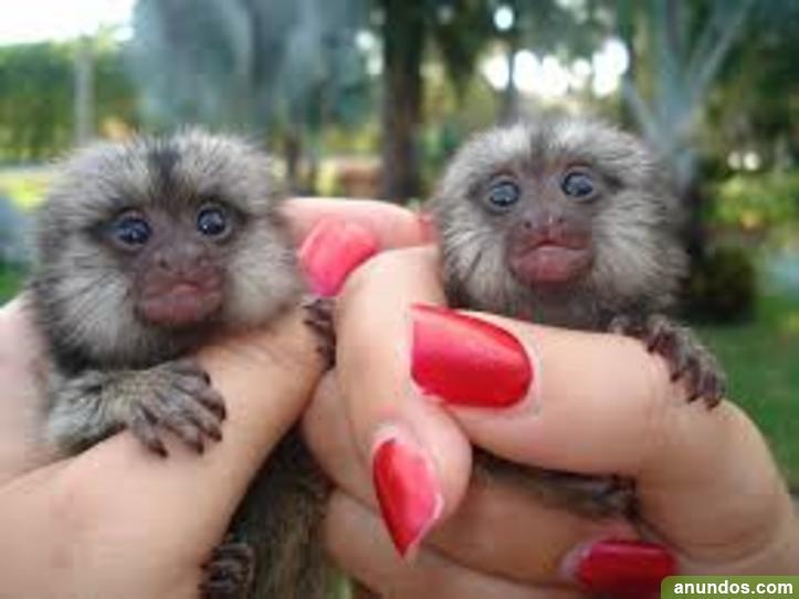 Hermoso bebé monos de jabalí para su adopción 200euros -