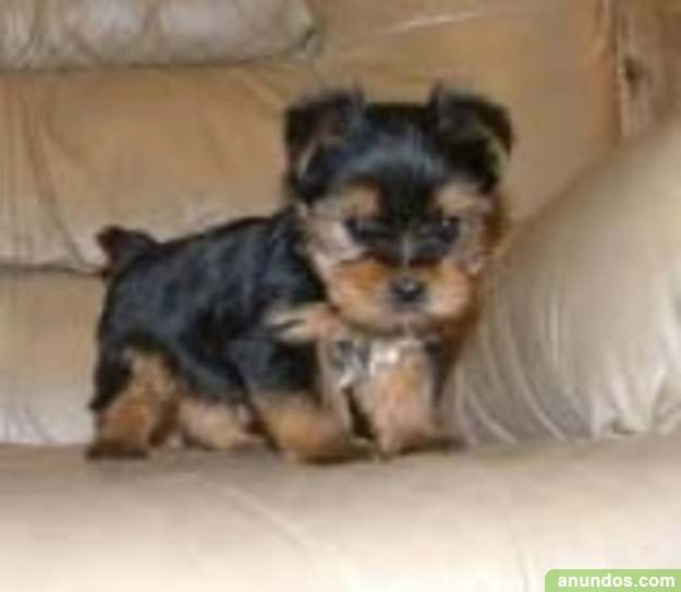 Regalo cachorros toy, de yorkshire terrier, - Adra