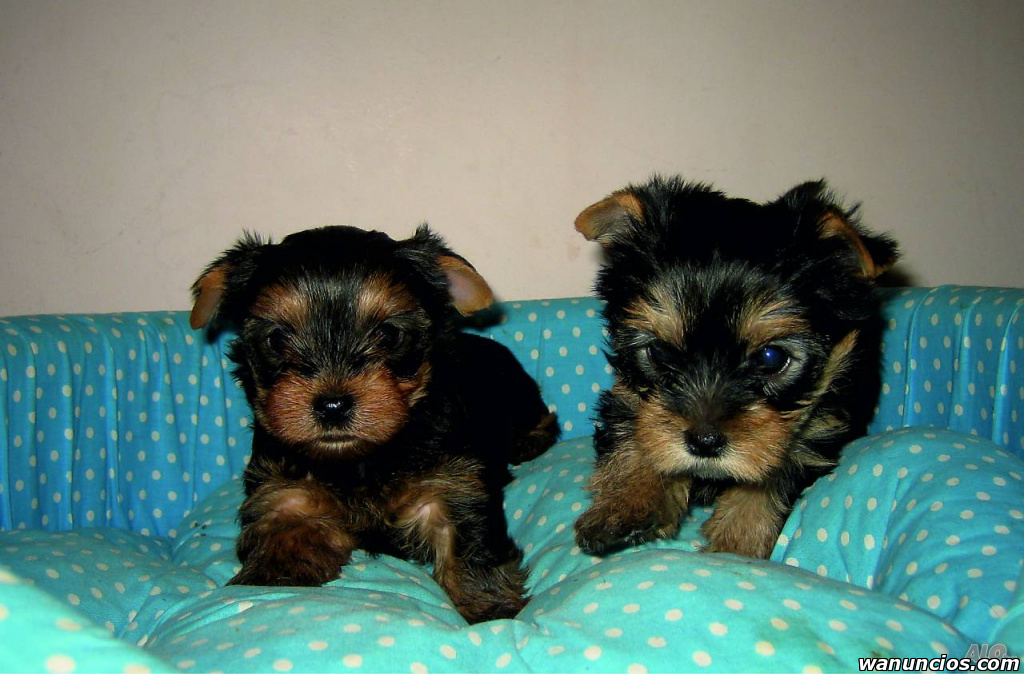 Hermosos cachorros de Yorkshire Terrier ! - Barcelona