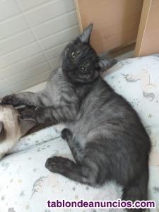 Gatitos de dos meses y medio