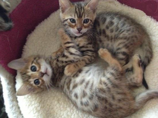 2 gatitos de Bengala disponibles para un hogar