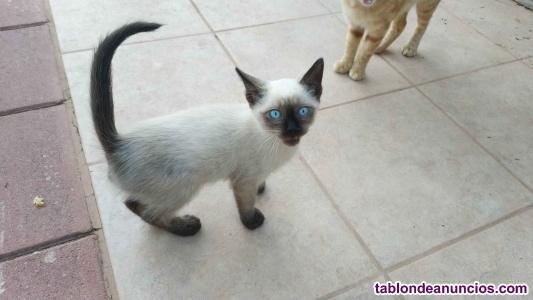Se regala gatito