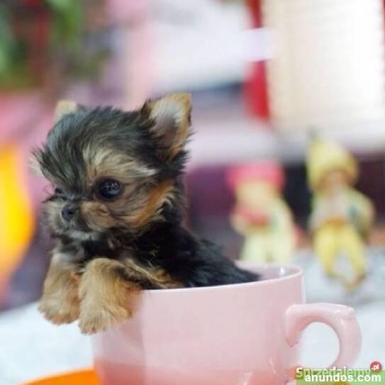 Taza de té yorkies disponible - Aranga