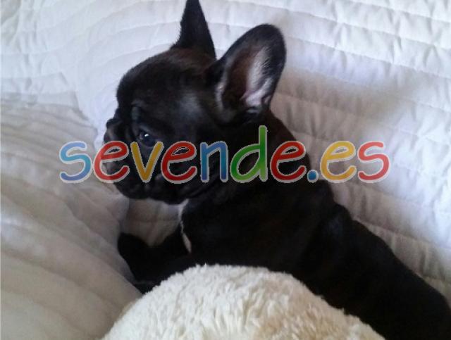 Bulldog francés de 12 semanas de edad Buscand