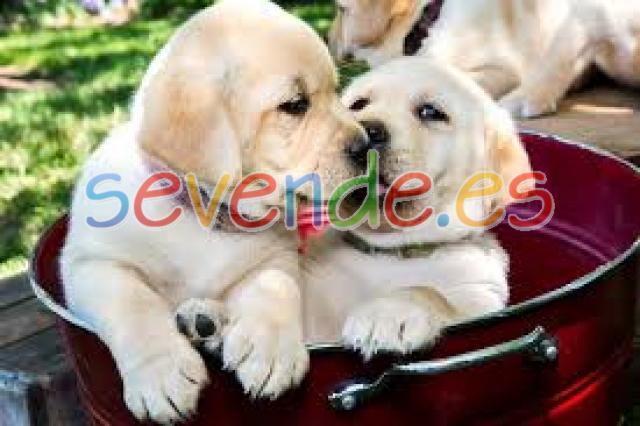 Dos Cachorros de labrador retriever registrad
