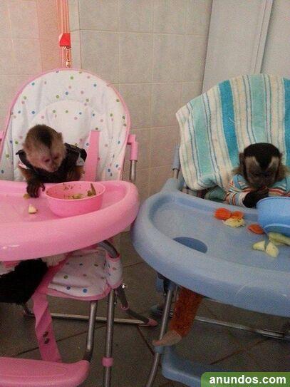 Monos capuchinos machos y hembras listos para adopción -