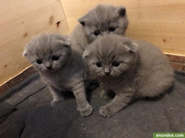 Excelente camada de gatitos british - Villanueva de la