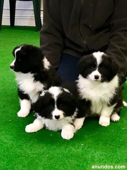 Fantastico cachorros border collie - Villanueva del Pardillo