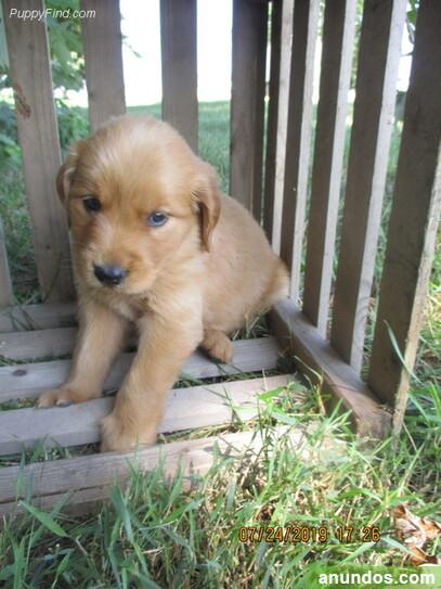 Impresionate cachorros golden retriever - Villaconejos