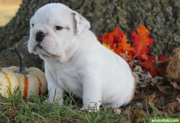 Magnifico cachorros bulldog ingles - Orusco de Tajuña