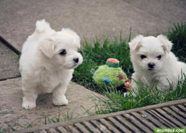 0regalo mini toy cachorros bichon maltes1 - O Pino