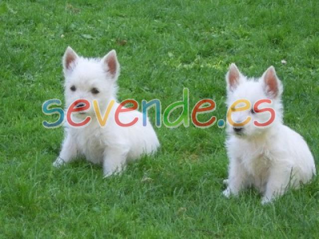 West Higland White Terrier de pura raza Navid