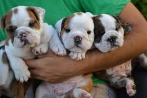 Rregalo lindo cachorros Bulldog ingles para adopción libre