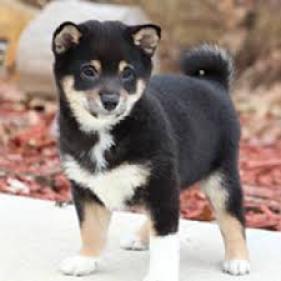 Regalo Excelente cachorros Shiba Inu de 2 meses, esta criada
