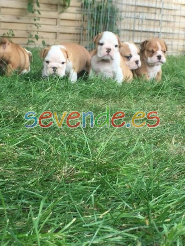 Encantadores Cachorros de Bulldog Inglés para