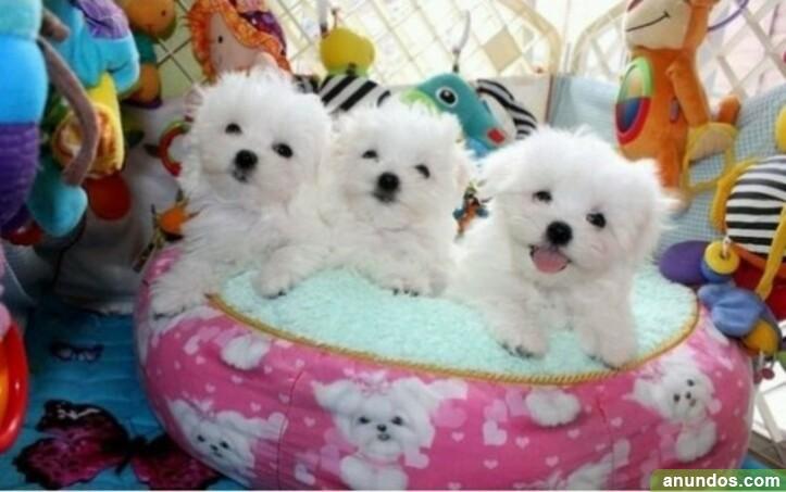 Cachorros malteses bien entrenados - Santa Lucía de