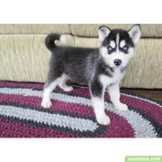 Precisos cachorros de husky siberiano con azul ojos - Cetina