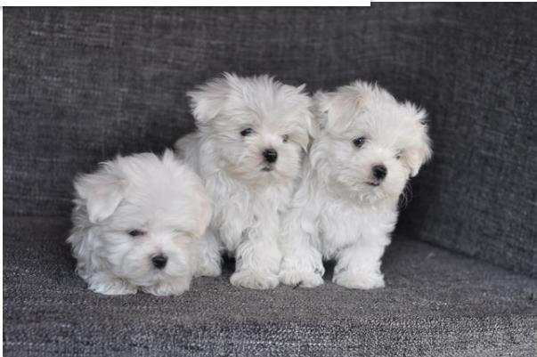 cachorros de Bichon Maltes Mini Toy Para Adopcion