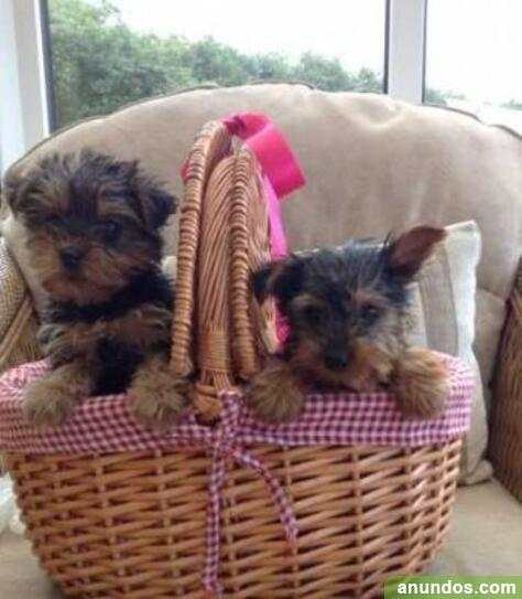 Cachorros yorkie mini saludable para adopción ahora - A